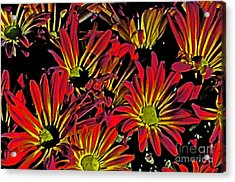 Painted Mums Acrylic Print by Judy Wolinsky