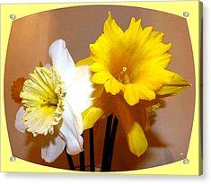 Painted Okanagan Daffodils Acrylic Print by Will Borden