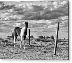 Painted Pony Acrylic Print by Tom Druin