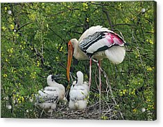 Painted Stork & Young Ones,keoladeo Acrylic Print