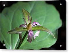 Painted Trillium Acrylic Print by Cheryl Cencich