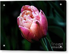 Acrylic Print featuring the photograph Painted Tulip by Trina  Ansel