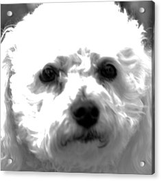 Acrylic Print featuring the photograph Painterly Bichon Frise by Patrice Zinck