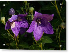 Pair Of Balloon Flowers Acrylic Print by Douglas Barnett