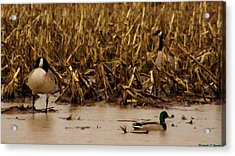 Pair Of Canada Geese And Teal Duck Acrylic Print by Rosemarie E Seppala
