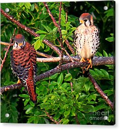 Caribbean Falcons Acrylic Print by The Art of Alice Terrill