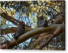 Pair Of Great Horned Owls Acrylic Print