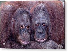 Pair Of Orangutans Acrylic Print by Robert Jensen