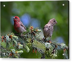 Pair Of Purple Finches Acrylic Print