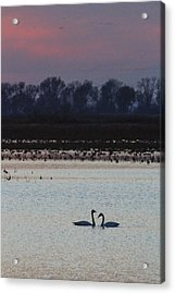 Pair Of Swan At Sunset Acrylic Print