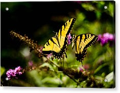 Pair Of Yellow Swallowtails Acrylic Print