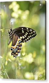 Palamedes Swallowtail 2 Acrylic Print by Kathy Gibbons
