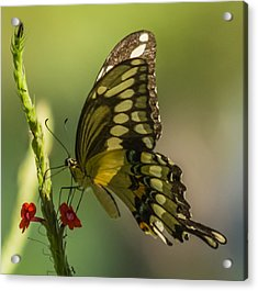 Acrylic Print featuring the photograph Palamedes Swallowtail by Jane Luxton