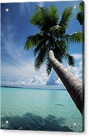 Palau, Micronesia, Palm Tree At Palau Acrylic Print