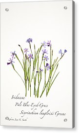 Pale Blue-eyed Grass Acrylic Print