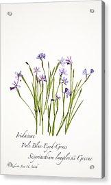 Pale Blue-eyed Grass Acrylic Print