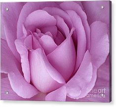 Pale Magenta Rose Acrylic Print by Paul Clinkunbroomer