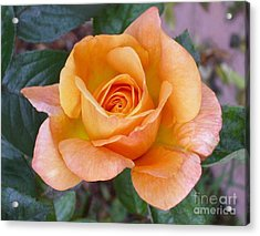 Pale Orange Rose Acrylic Print by Paul Clinkunbroomer