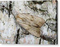 Pale Pinion Moth Acrylic Print