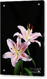 Pale Pink Asiatic Lilies Acrylic Print