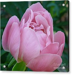 Pale Pink Peony Acrylic Print