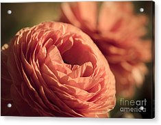 Pale Pink Petals Acrylic Print