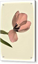 Pale Pink Tulip Acrylic Print