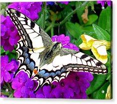 Pale Swallowtail Acrylic Print