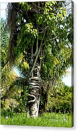 Palm Being Strangled By Strangler Fig Acrylic Print by Gregory G. Dimijian, M.D.