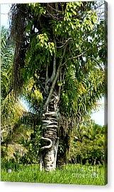Palm Being Strangled By Strangler Fig Acrylic Print