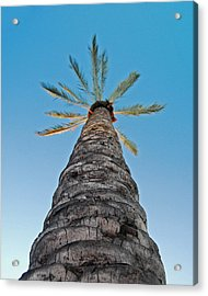 Palm Tree Looking Up Acrylic Print