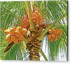 Palm Tree With Coconuts Acrylic Print