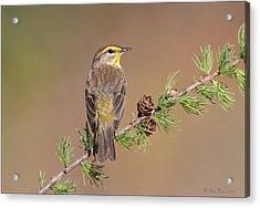 Palm Warbler  Acrylic Print by Daniel Behm
