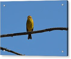 Palm Warbler Acrylic Print by James Petersen