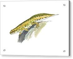 Palmate Newt, Artwork Acrylic Print