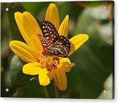 Palmer's Metalmark Butterfly Acrylic Print