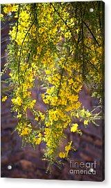 Palo Verde Blossoms Acrylic Print
