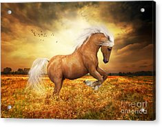 Palomino Horse Sundance  Acrylic Print by Shanina Conway