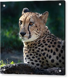 Acrylic Print featuring the photograph Pampered Kitty by Joseph G Holland