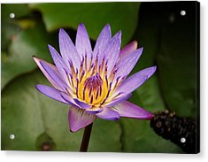 Panama Pacific Water Lily Acrylic Print by Trever Miller