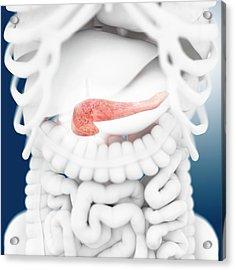 Pancreas Acrylic Print by Springer Medizin