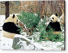 Panda Bears In Snow Acrylic Print by Chris Scroggins