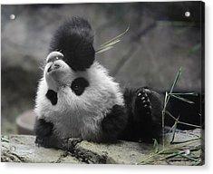 Panda Cub At National Zoo Acrylic Print
