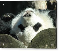 Panda Playing Possum Acrylic Print by Cleaster Cotton