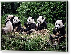Pandas In China Acrylic Print by Joan Carroll