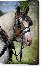 Pandora In Harness Acrylic Print by Fran J Scott