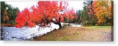 Panorama Of Red Maple Tree, Muskoka Acrylic Print by Henry Lin