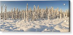 Panoramic View Of Snow-covered Spruce Acrylic Print by Ray Bulson