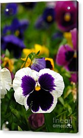 Pansies Acrylic Print by Amy Cicconi