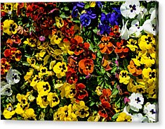Pansy Color Mix  Acrylic Print